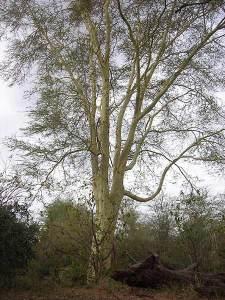Baum, kopfbeschmerzt